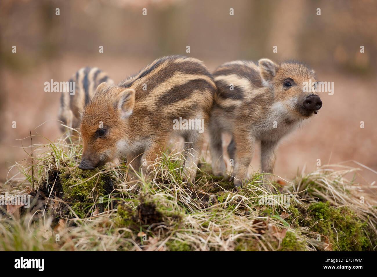 Wild Boars (Sus scrofa), piglets, captive, North Rhine-Westphalia, Germany - Stock Image