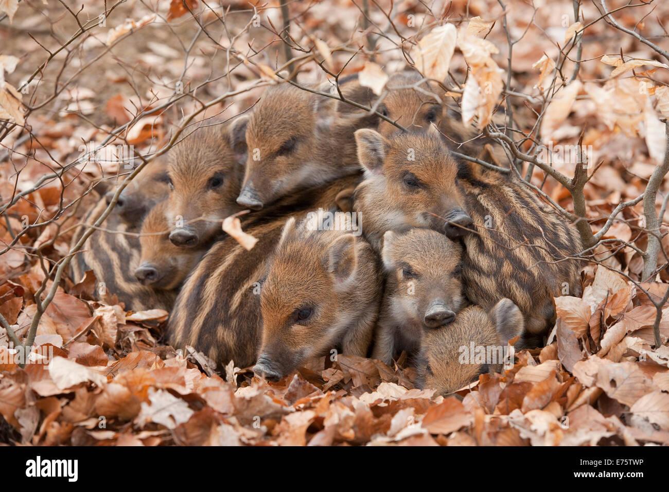 Wild Boars (Sus scrofa), piglets warming each other, captive, North Rhine-Westphalia, Germany - Stock Image