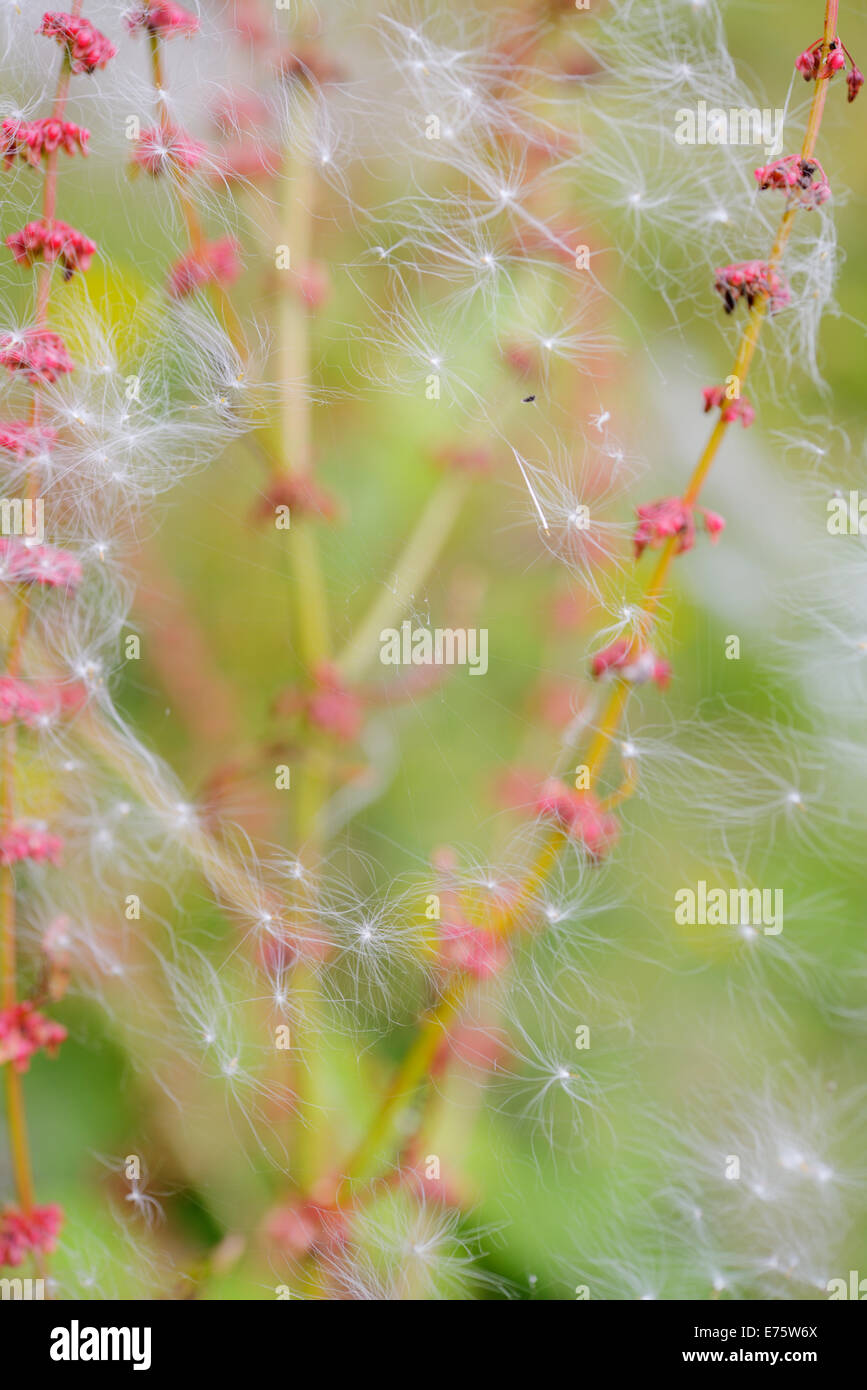 Broad leaved Dock, Rumex obtusifolius seedheads with spiders webs and trapped Willowherb seeds, Wales, UK - Stock Image