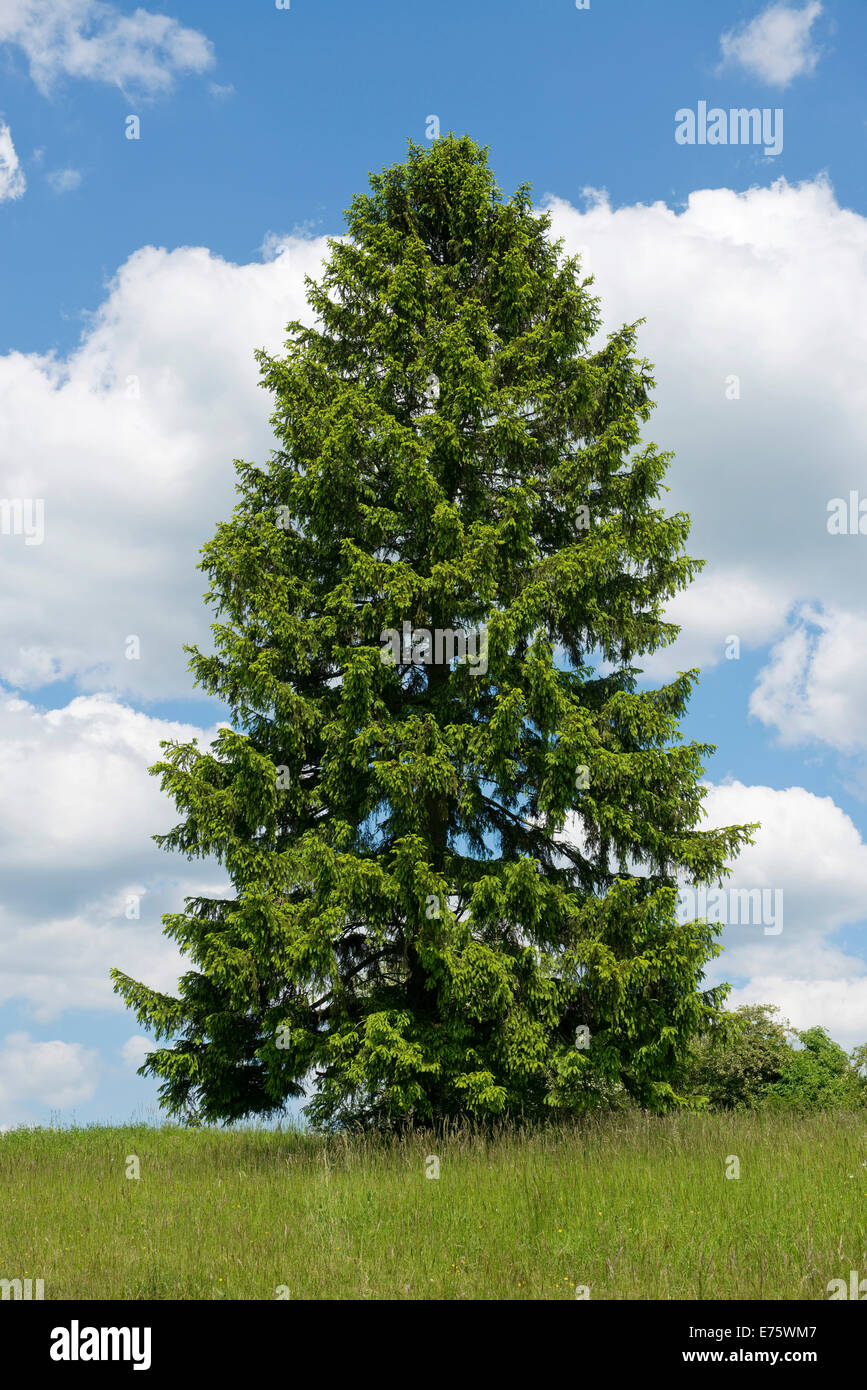Norway Spruce (Picea abies), Thuringia, Germany - Stock Image
