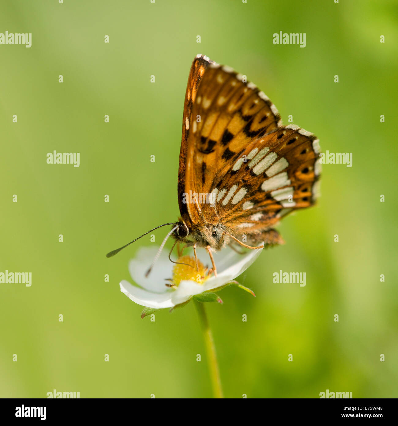 Duke of Burgundy Fritillary (Hamearis lucina), feeding on nectar, Thuringia, Germany - Stock Image