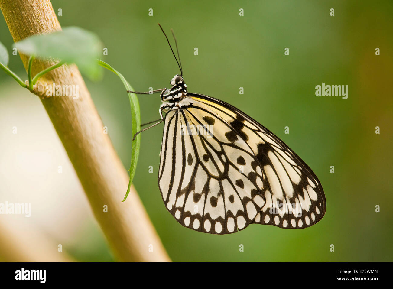 Paper Kite or Large Tree Nymph (Idea leuconoe), captive, Thuringia, Germany Stock Photo