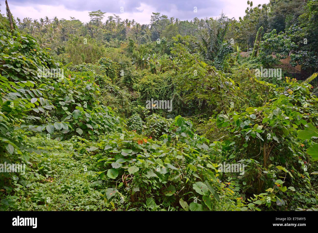 Rain forest in Ubud Monkey Forest, Ubud, Bali, Indonesia - Stock Image