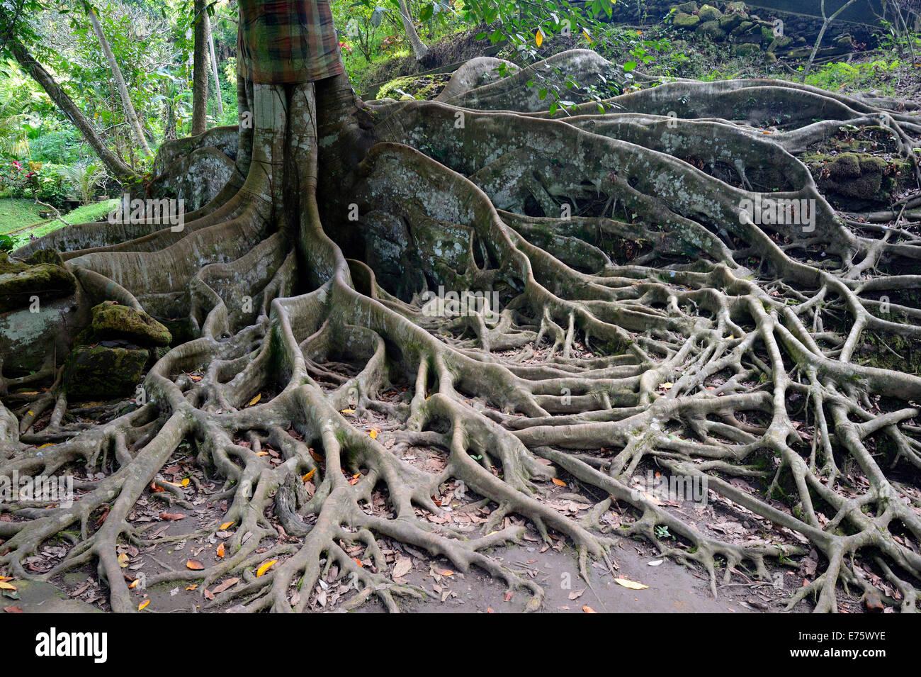 ficus tree stock photos ficus tree stock images alamy. Black Bedroom Furniture Sets. Home Design Ideas