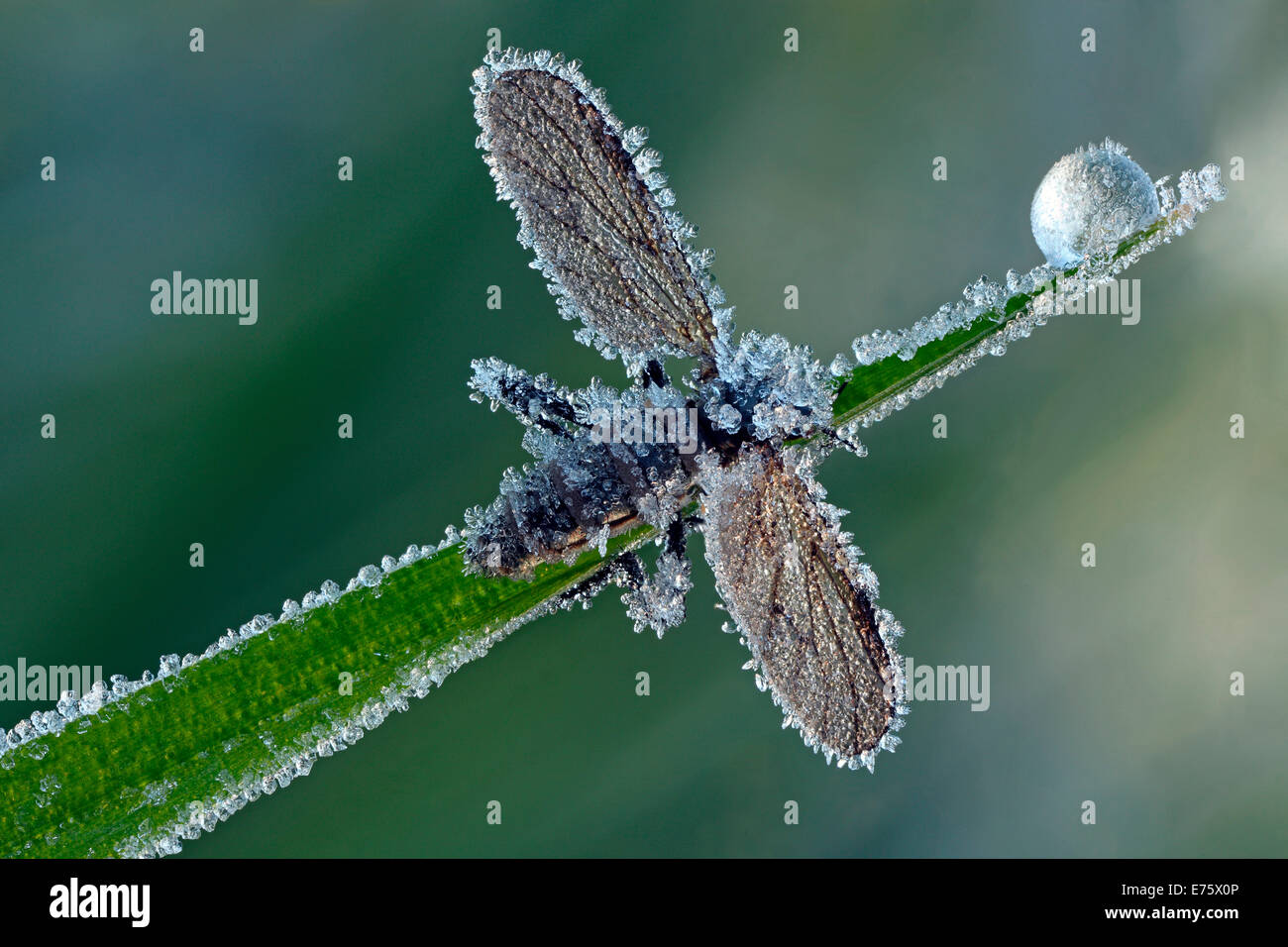 March Fly or St Mark's Fly (Bibio), with hoarfrost ice crystals, Hesse, Germany - Stock Image