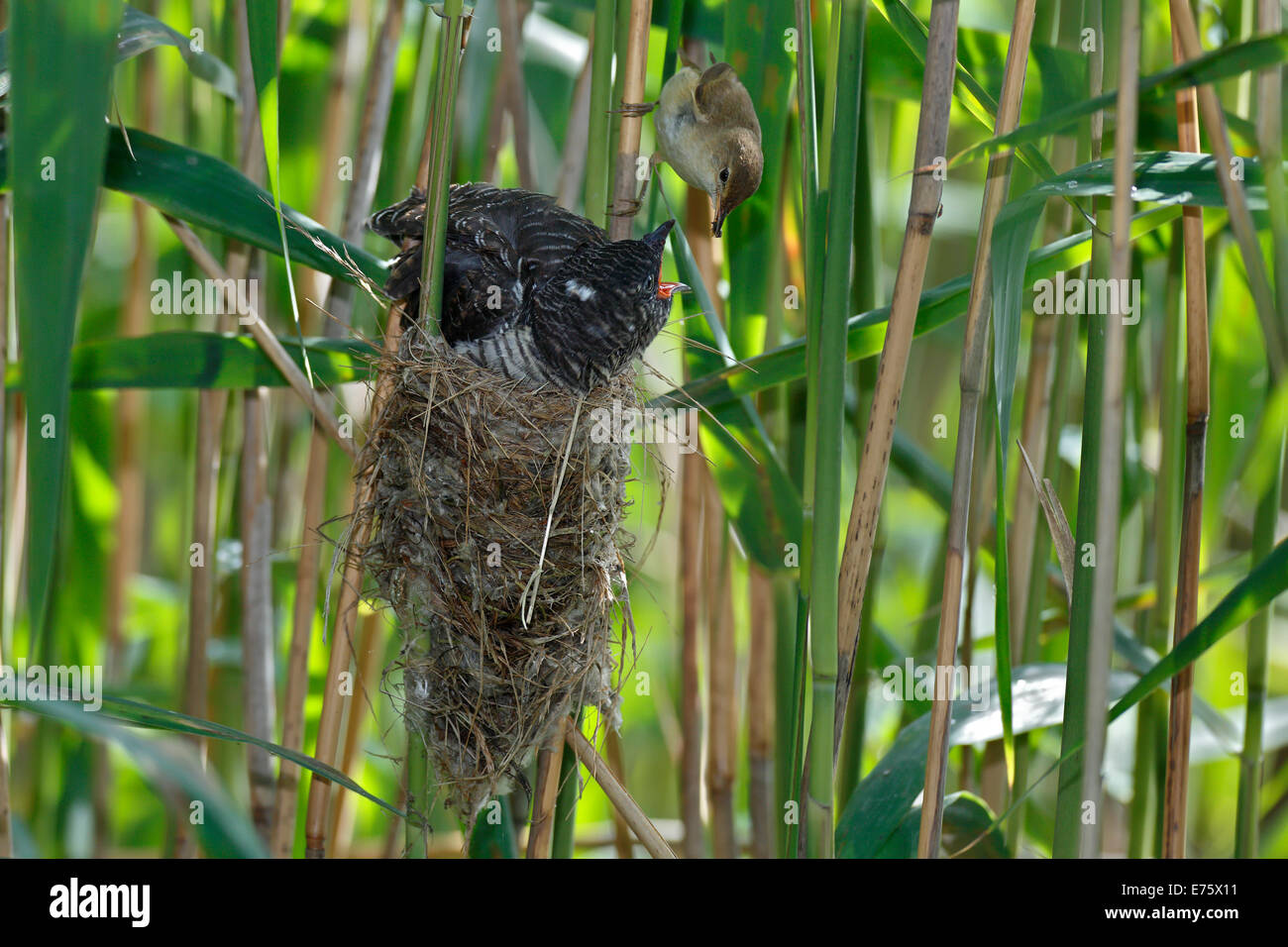 A young Common Cuckoo (Cuculus canorus) is fed by its host, a Eurasian Reed Warbler (Acrocephalus scirpaceus), Saxony - Stock Image