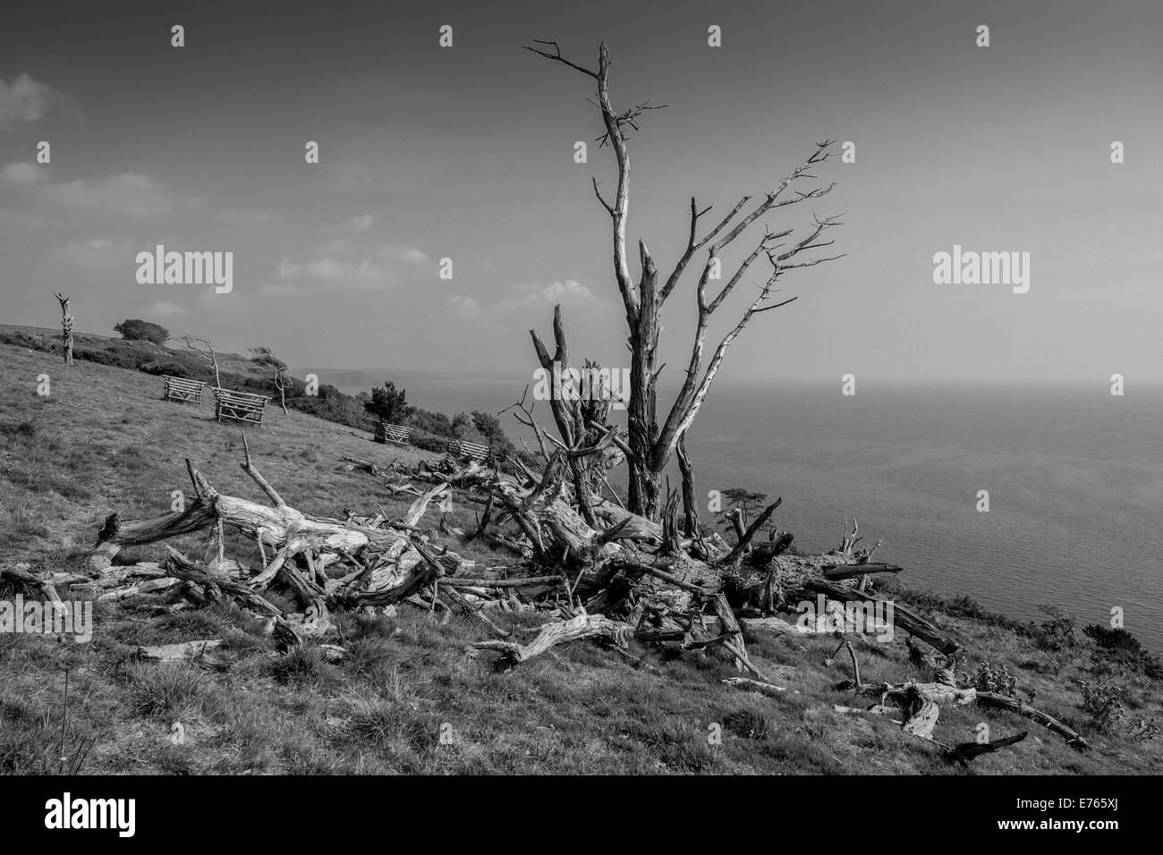 Old fallen Monterey pines with newly planted replacements. Above Stoke Beach, South Hams. Devon. UK - Stock Image