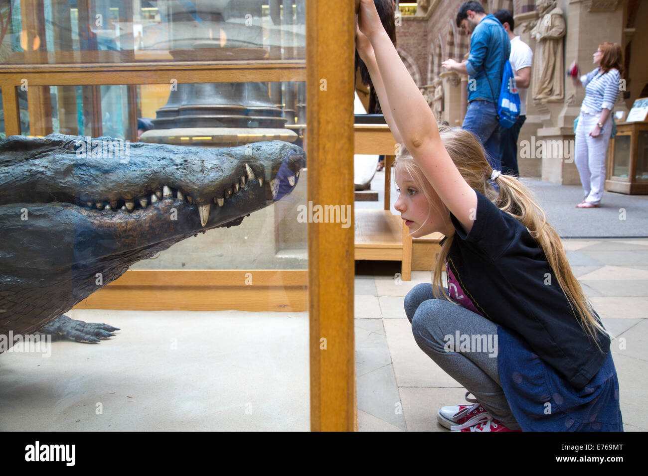 Young Girl looking at an African Crocodile in a Display Case, Oxford Museum of Natural History - Stock Image