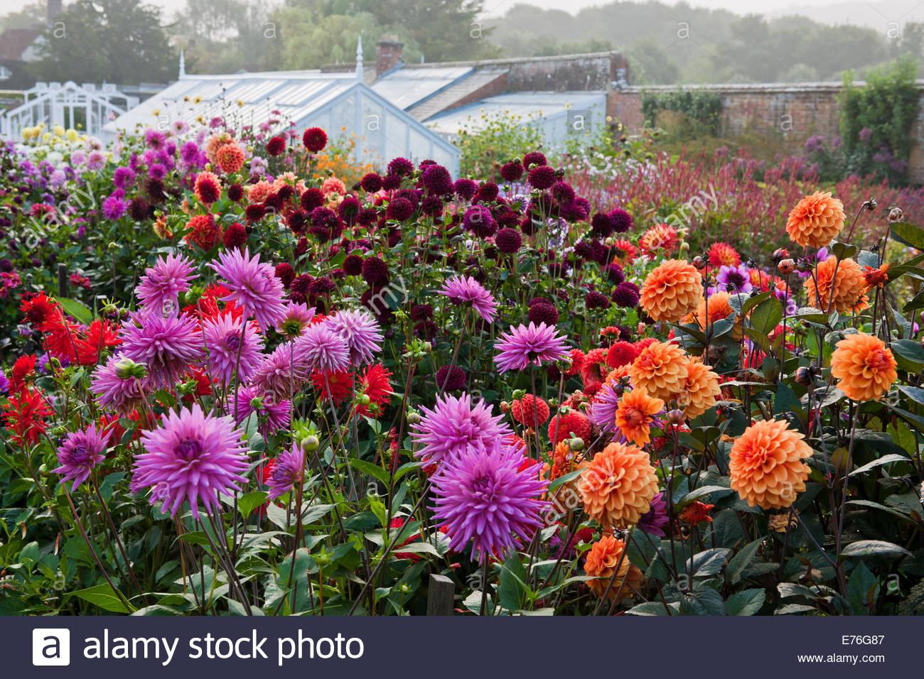 mixed dahlias cut flower garden september blooms blossoms flowers west dean walled garden sussex english england uk united - English Flowers Garden