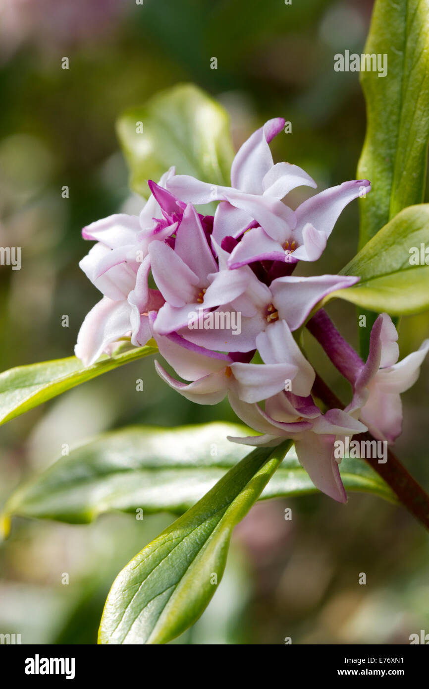 Daphne bholua flowering in a garden. Herefordshire, England. March. - Stock Image