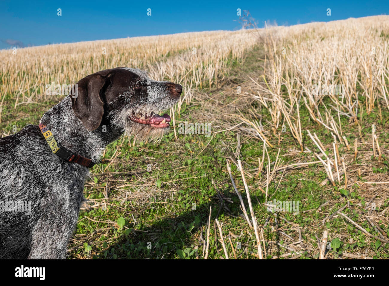 GERMAN WIRE HAIRED POINTER GUN DOG IN FIELD OF STUBBLE LATE SUMMER IN GLOUCESTERSHIRE ENGLAND UK - Stock Image