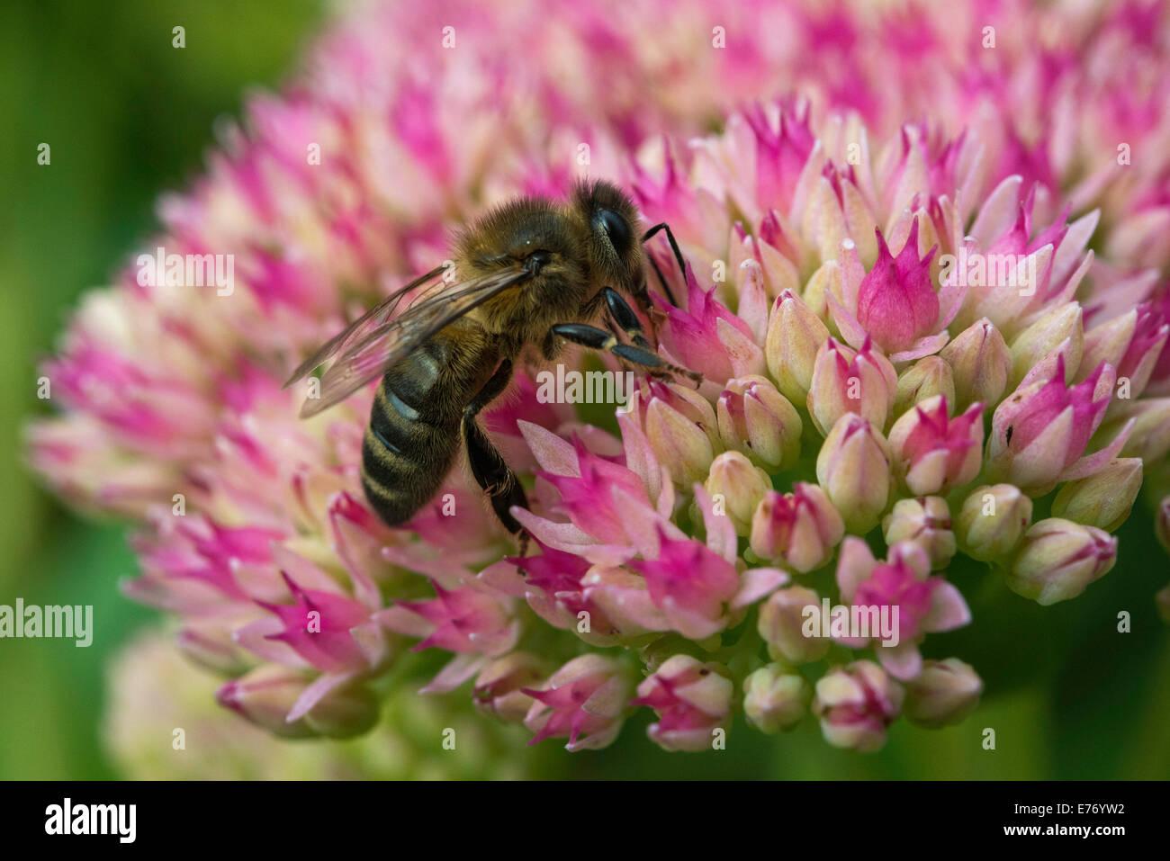 BEE ON SEDUM FLOWER HEAD IN DOMESTIC GARDEN GLOUCESTERSHIRE ENGLAND UK - Stock Image