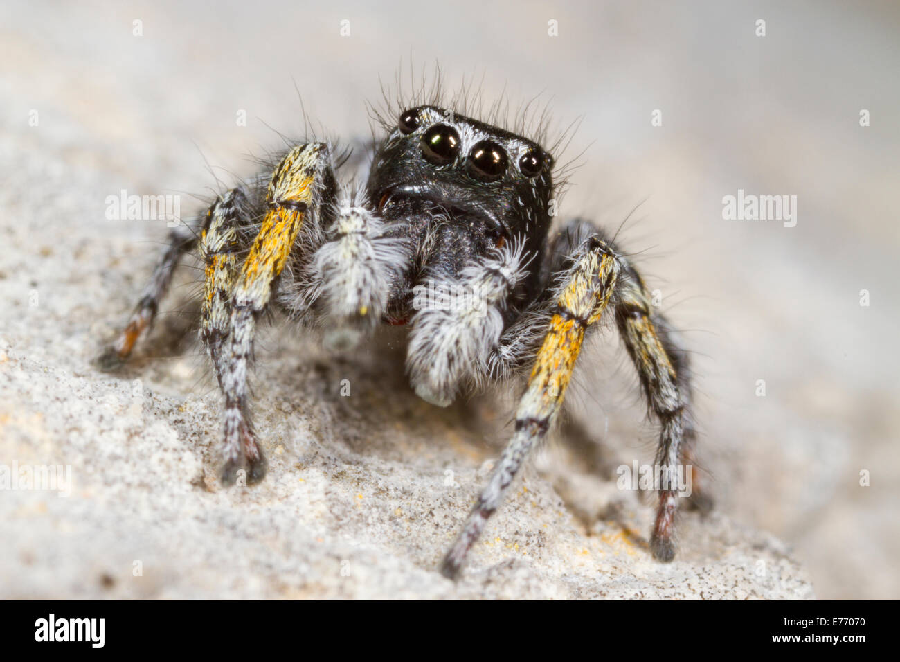 Jumping spider (Philaeus chrysops) portrait of an adult male. Ile St. Martin, Aude, France. - Stock Image