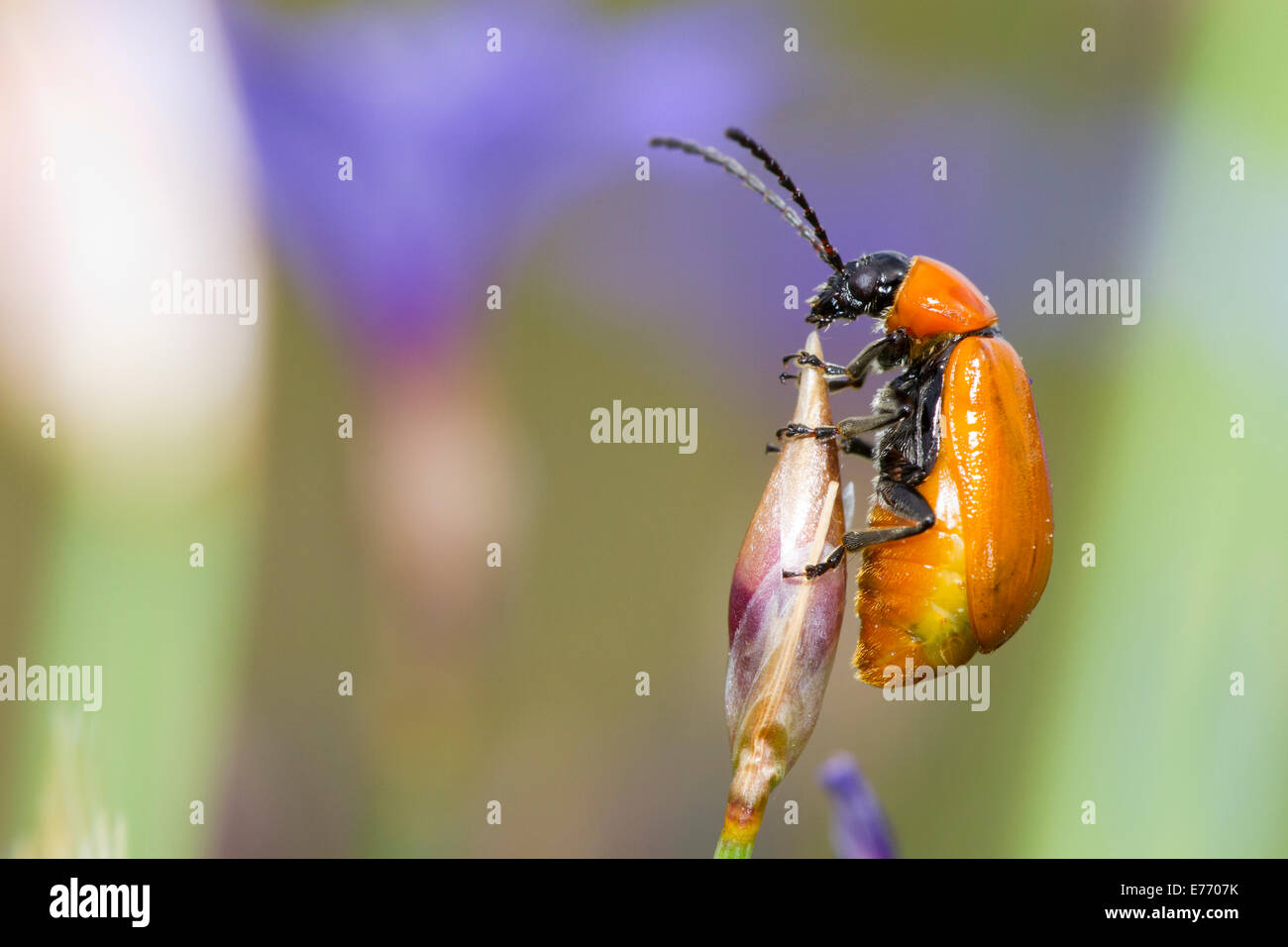 Scarlet Lily Beetle (Lilioceris lilii) adult female amongst Aphyllanthes (Aphyllanthes monspeliensis). - Stock Image