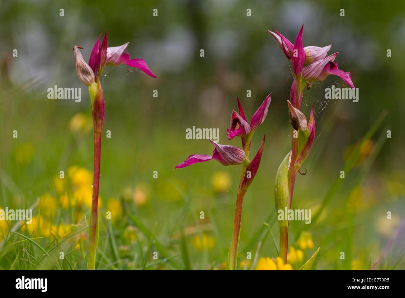 Tongue Orchids (Serapias lingua) flowering. Col de Calzan, Ariege Pyrenees, France. May. - Stock Image