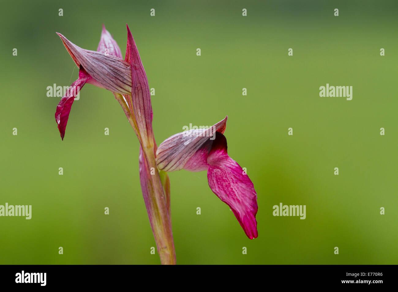 Tongue Orchid (Serapias lingua) flowering. Col de Calzan, Ariege Pyrenees, France. May. - Stock Image