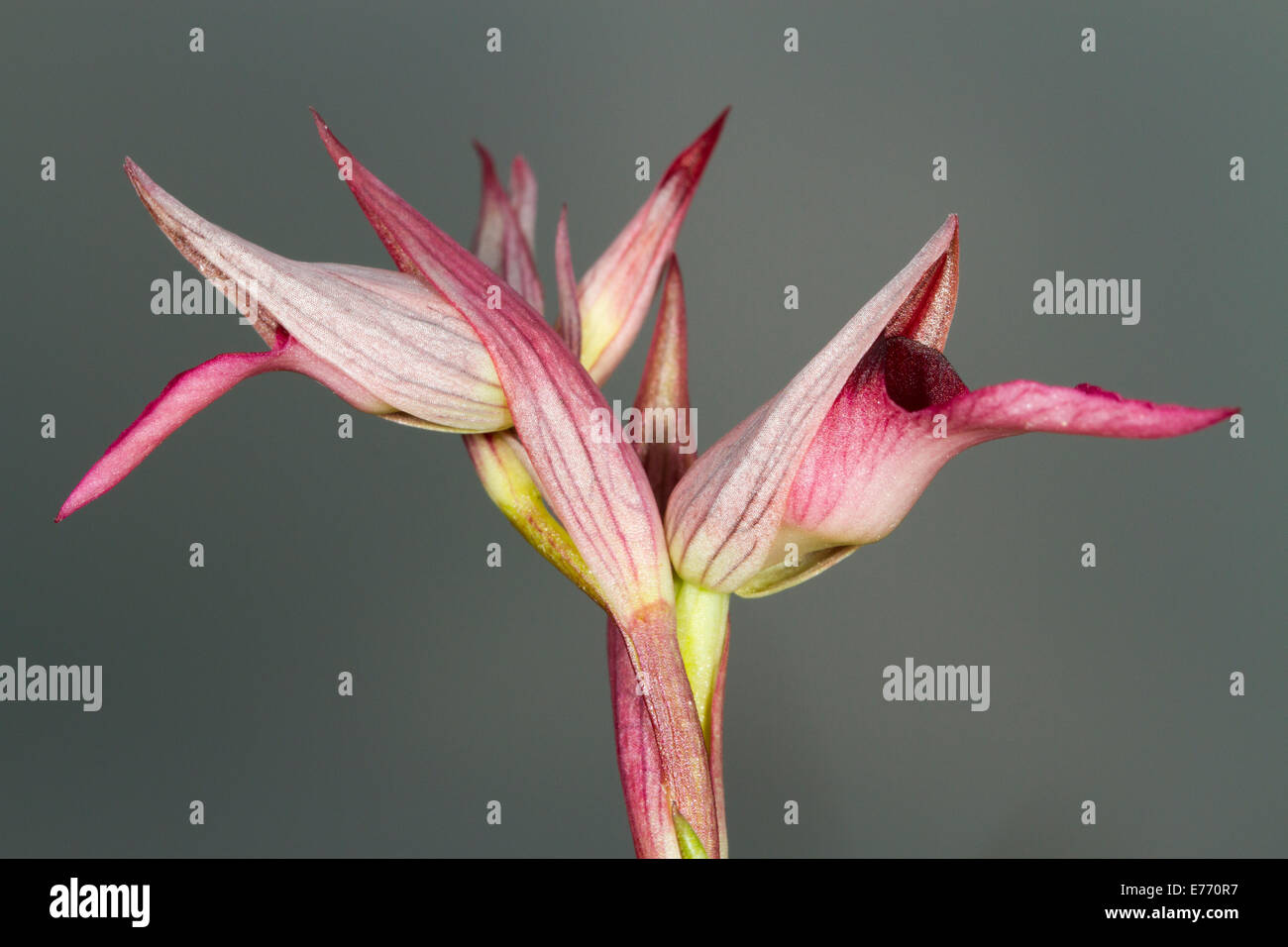 Tongue Orchid (Serapias lingua) flowering against rain clouds. Col de Calzan, Ariege Pyrenees, France. May. - Stock Image