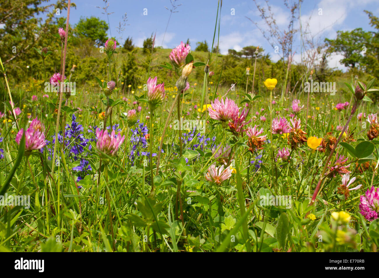Flowery grazing meadow and Juniper scrub in the foothills of the Pyrenees, with Red Clover, Milkwort, etc. - Stock Image