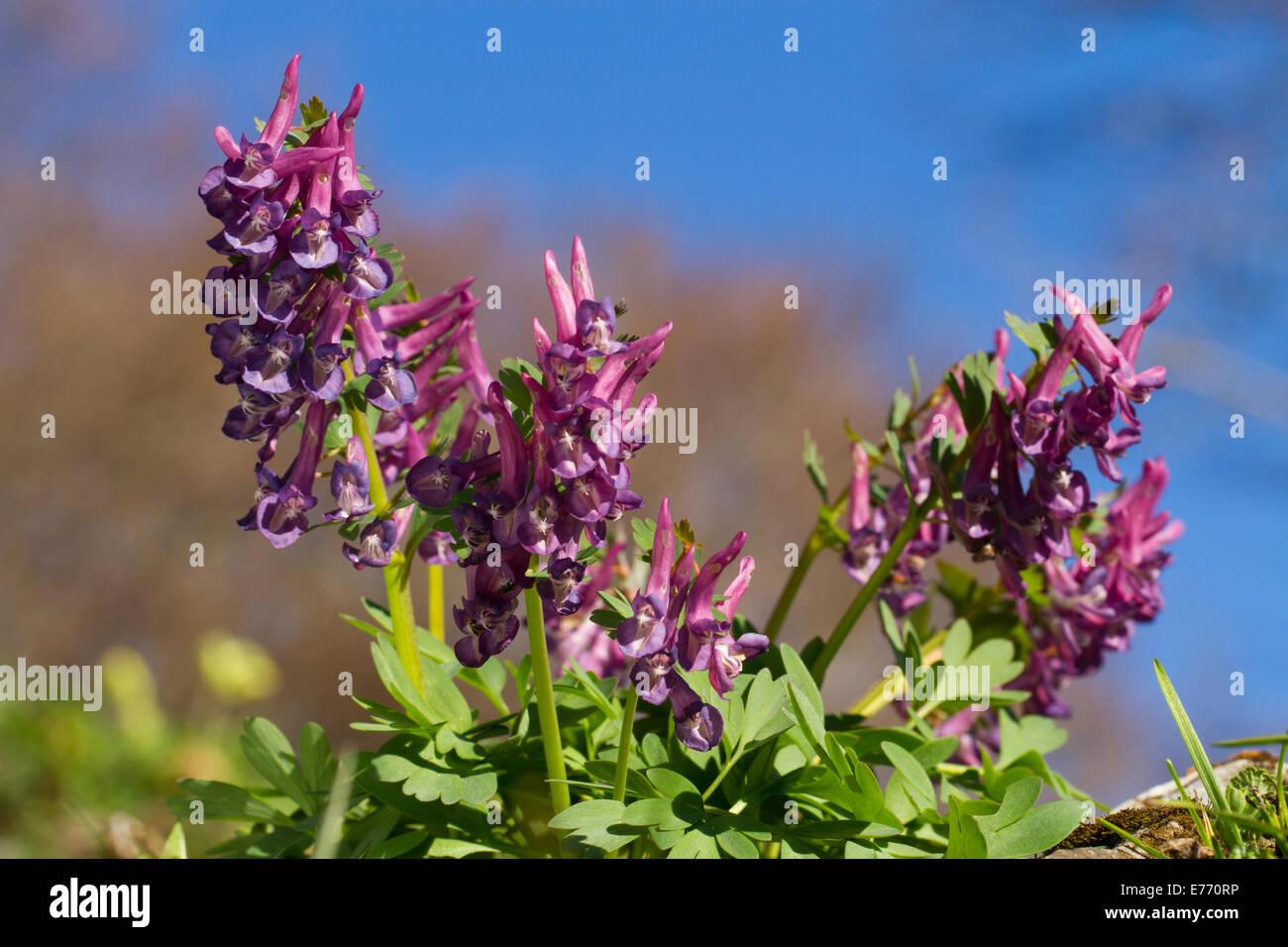 Bulbous corydalis (Corydalis bulbosa) flowering.  Ariege Pyrenees, France. May. - Stock Image