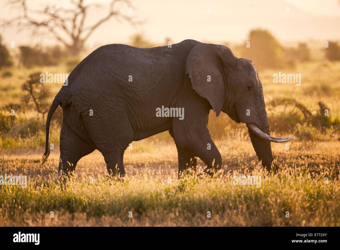 African Elephant in Backlight Amboseli National Park - Stock Image