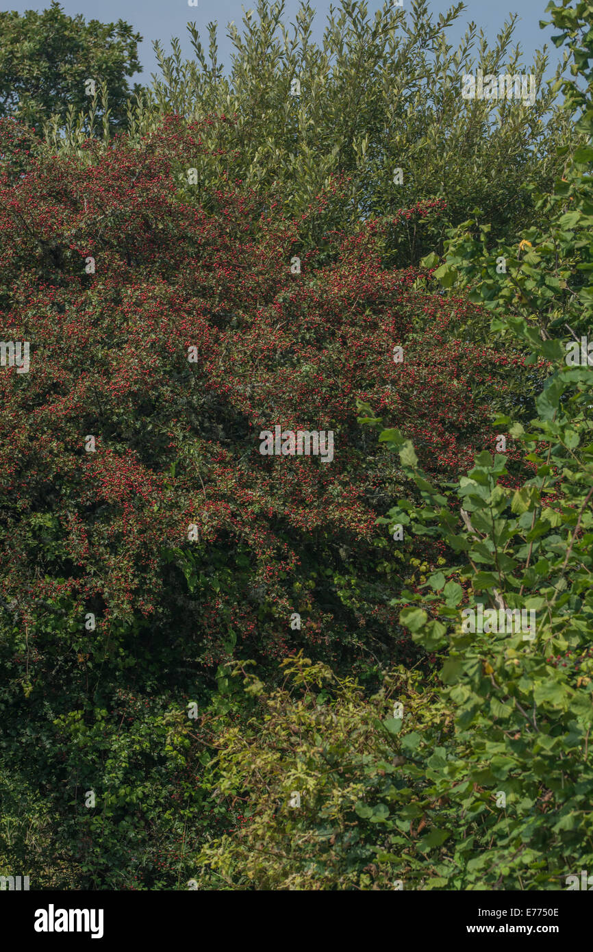 Hawthorn tree / Crataegus sp. shrub with autumnal red berries on branches. - Stock Image