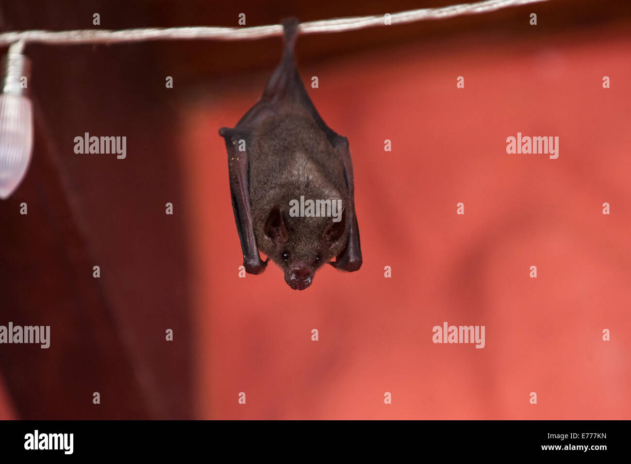 Small bat hangs on a string of Christmas Lights in Costa Rica - Stock Image