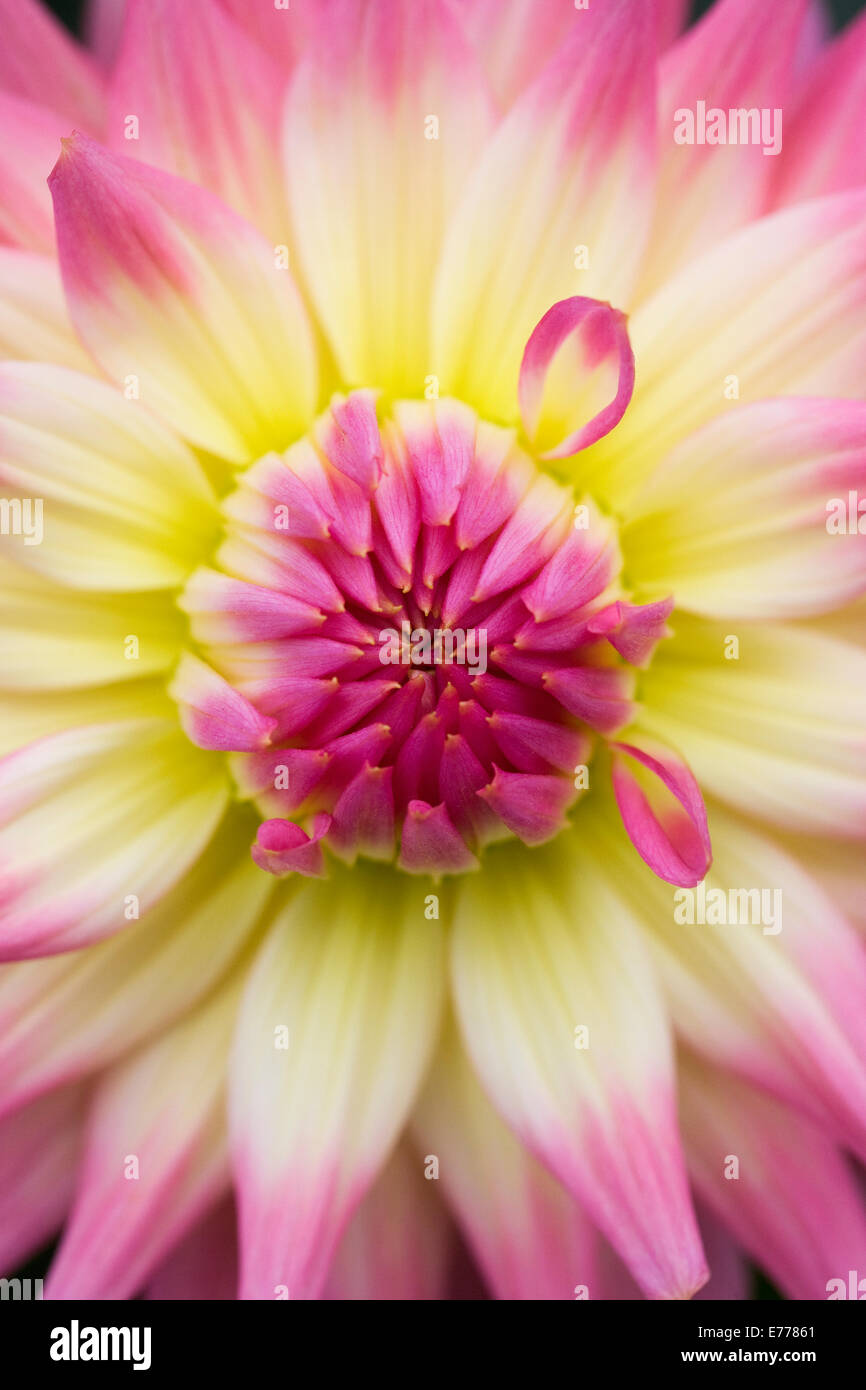 Dahlia 'Melody Gipsy' growing in an herbaceous border. - Stock Image