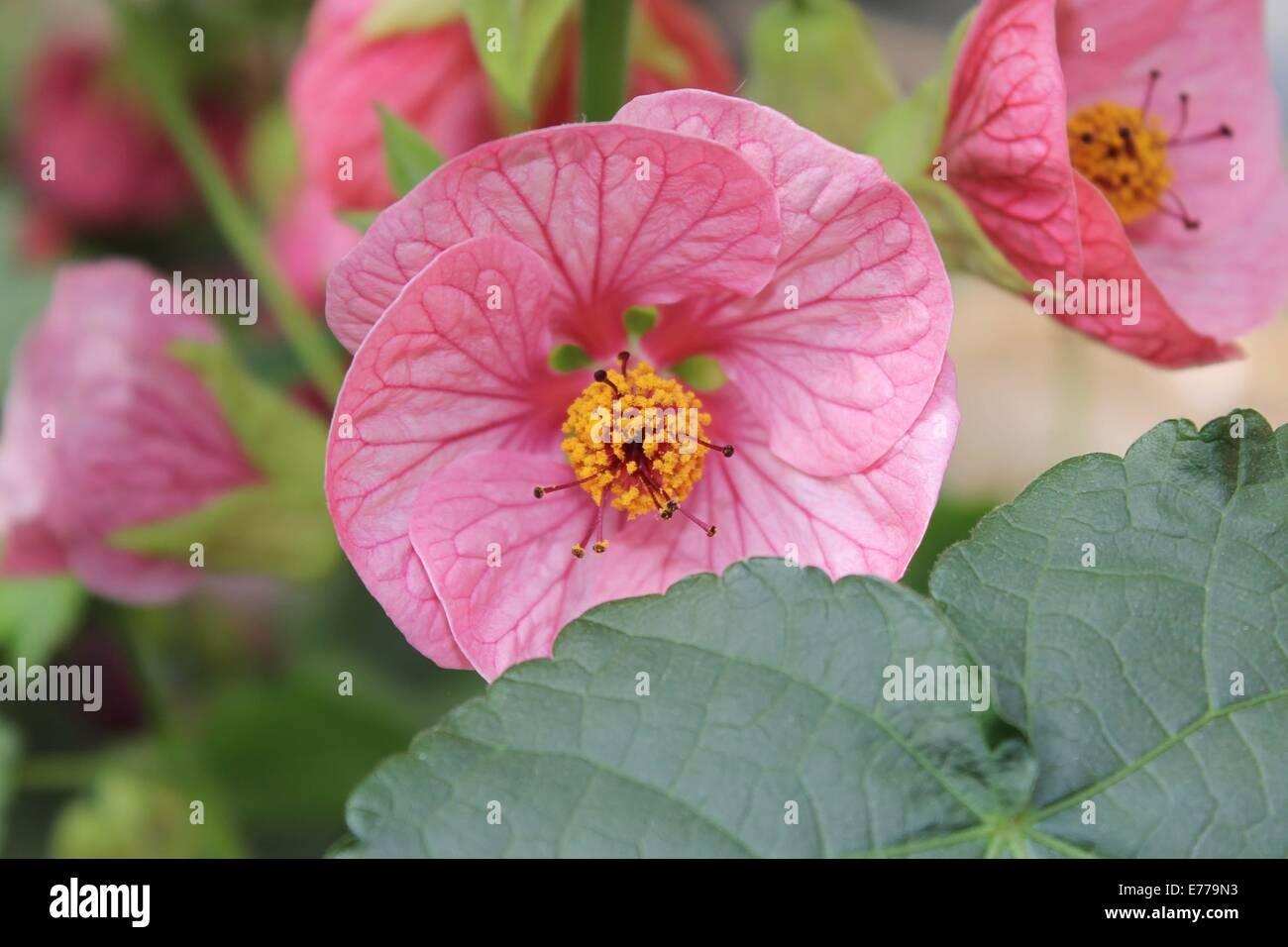 Flowering Maple Stock Photos Flowering Maple Stock Images Alamy