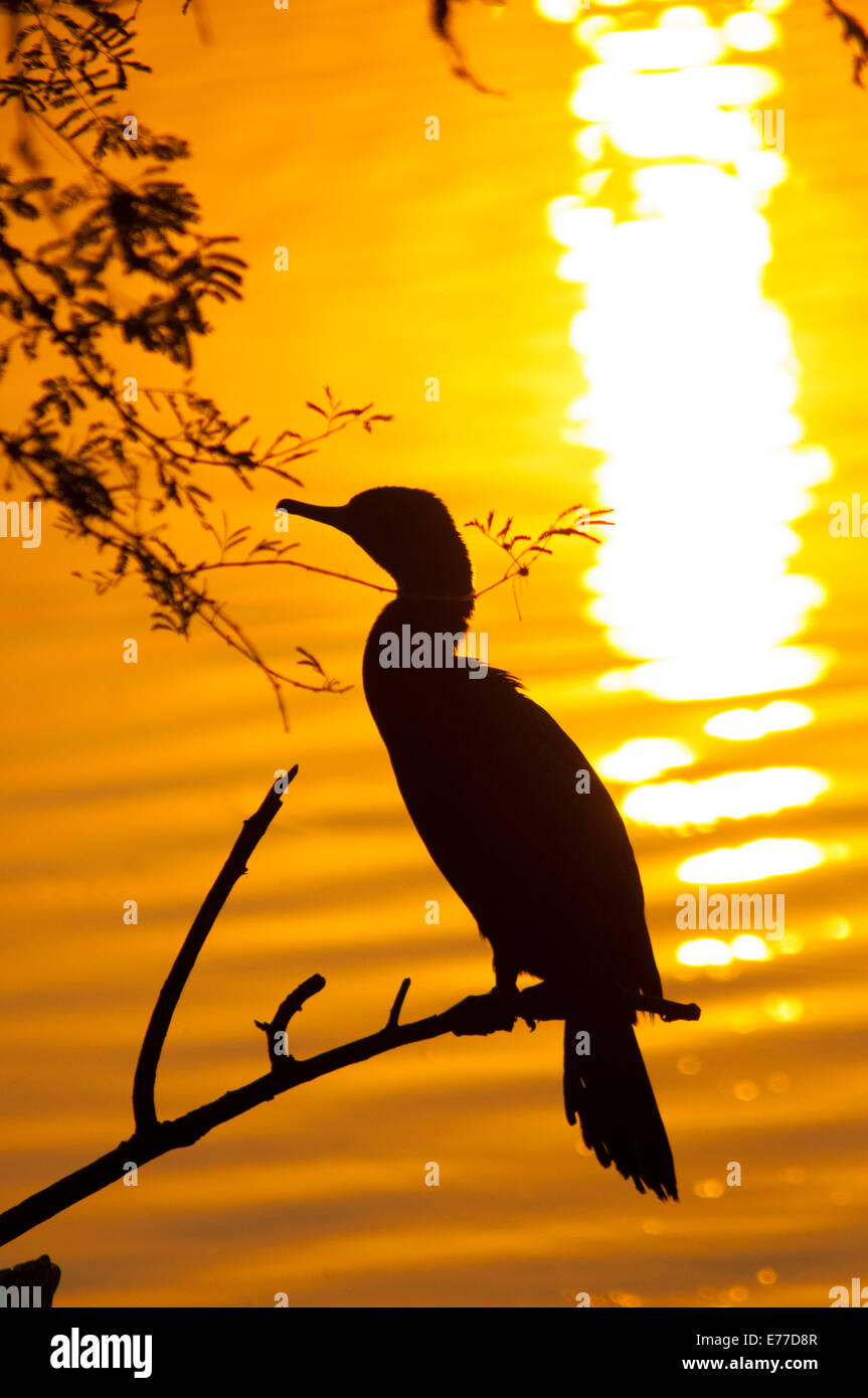 Silhouette of an Indian cormorant, Keoladeo NP (Bharatpur bird sanctuary), Bharatpur, Rajasthan, India. - Stock Image