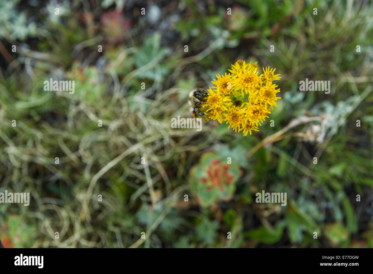 a lone bee pollinates yellow wildflowers - Stock Image