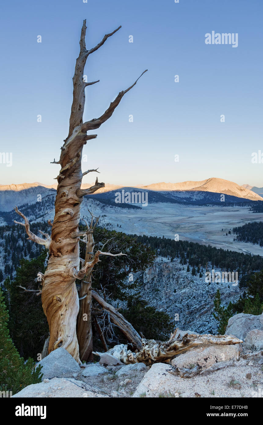old dead mountain pine tree in the Southern Sierra Nevada Mountains along the Pacific Crest Trail - Stock Image