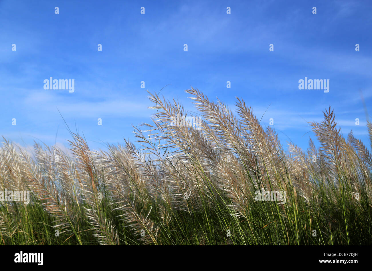 Saccharum spontaneum or Kans grass locally known as the Kash flower in Bangladesh - Stock Image