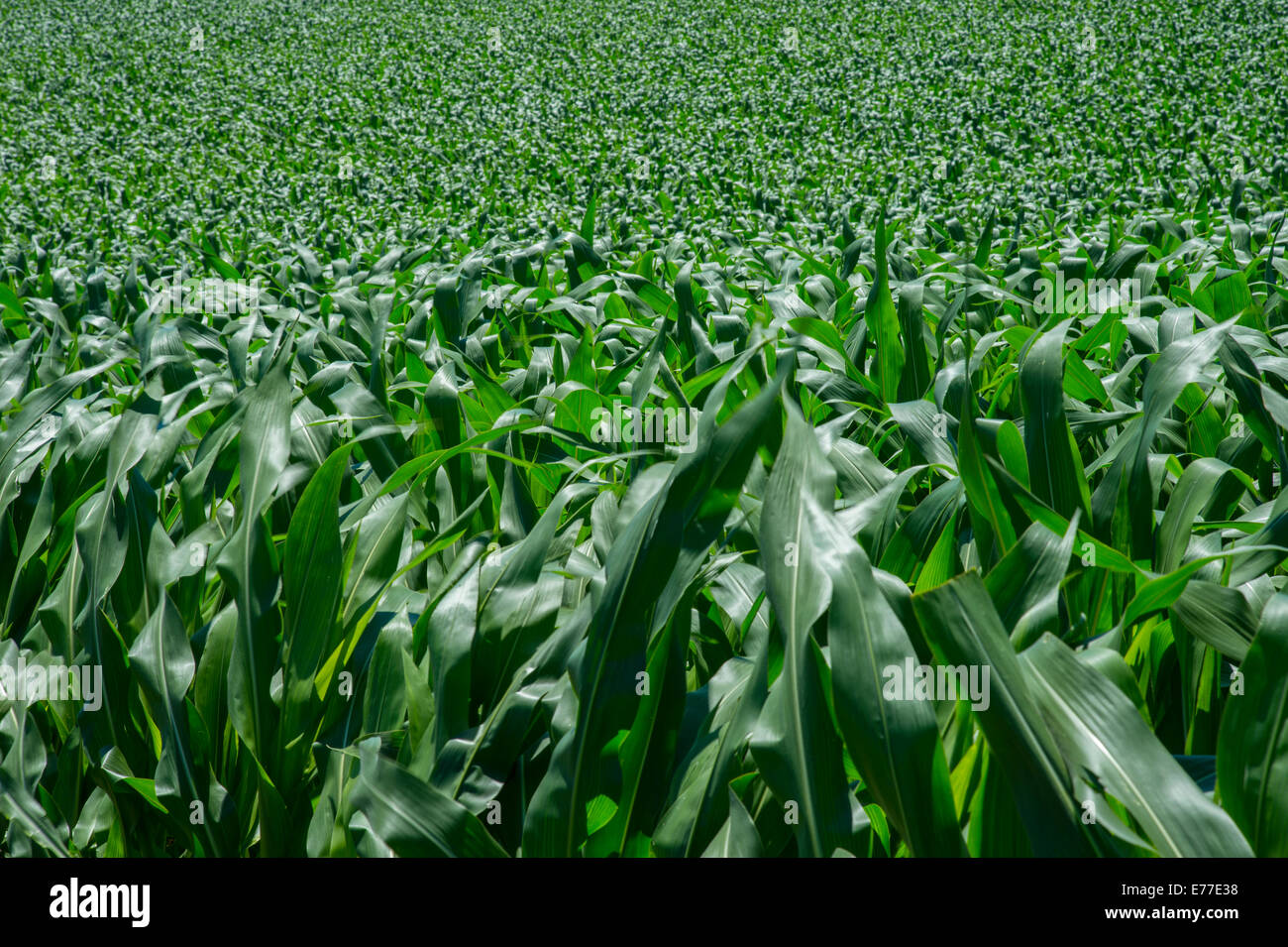 Corn Field Detail - Stock Image