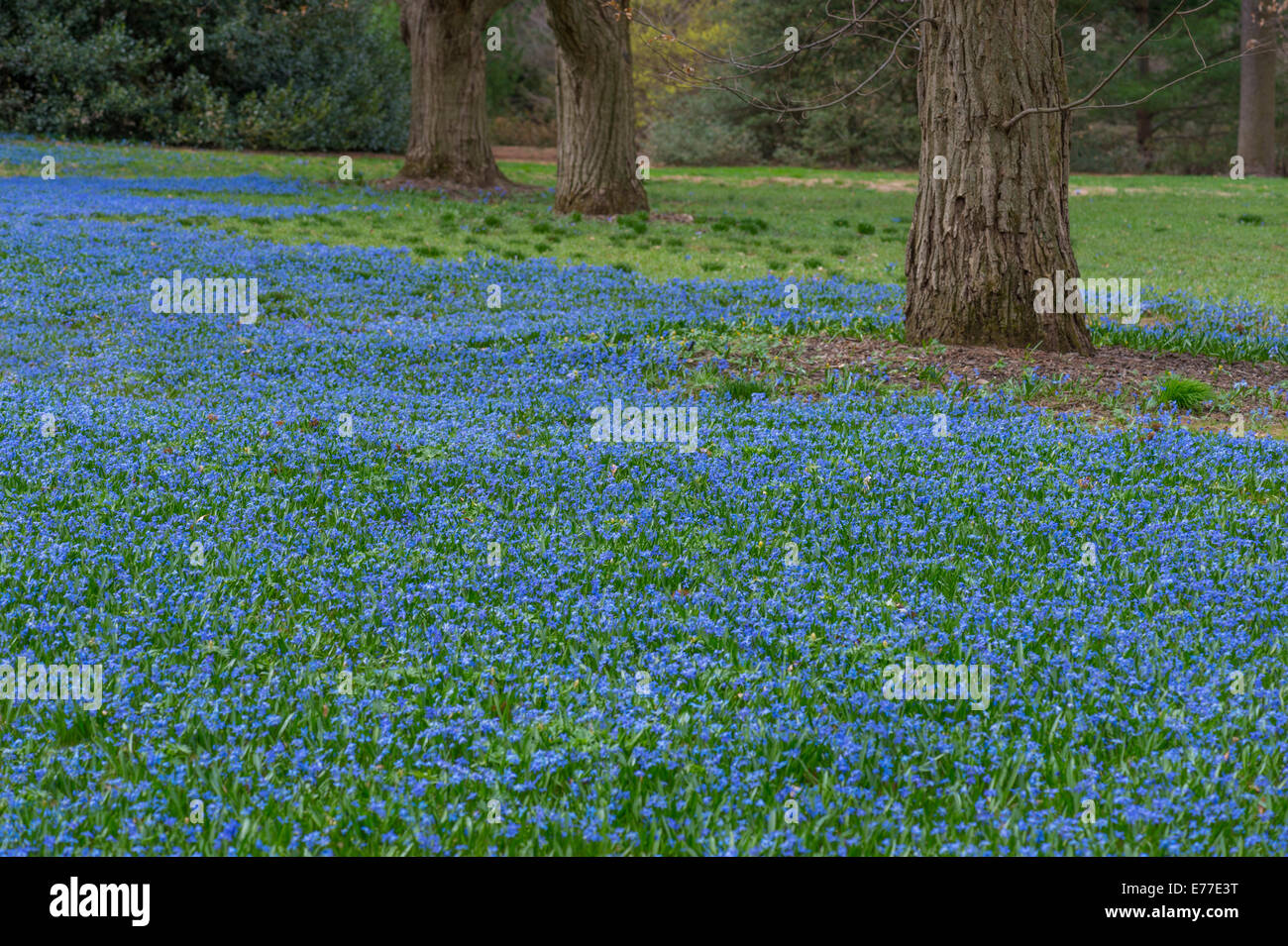 field of blue flowers with trees stock photo 73308812 alamy