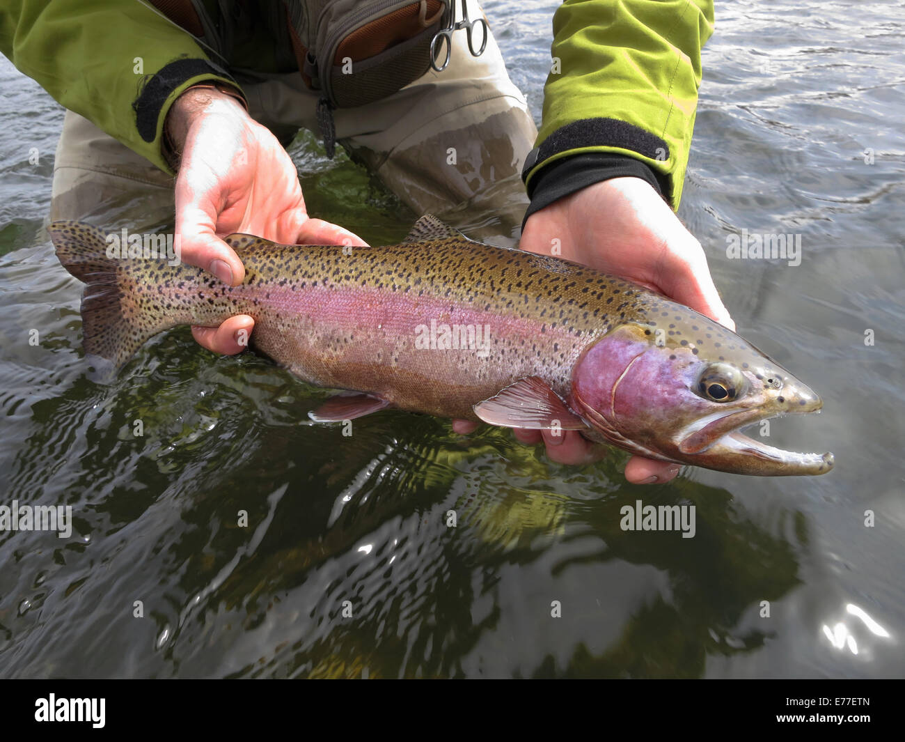 Fly fisherman holding rainbow trout that was caught in the North Platte River in Wyoming, USA. - Stock Image