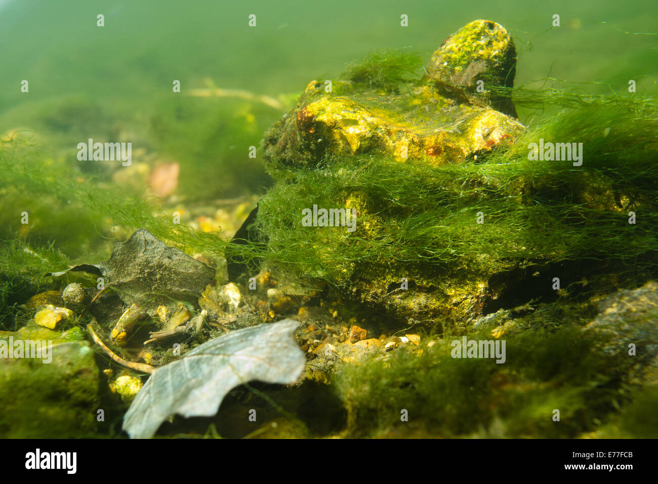 Bottom of river darent riverbed freshwater clear in sunshine yet full of algal weed rays of sunshine streaking thought - Stock Image