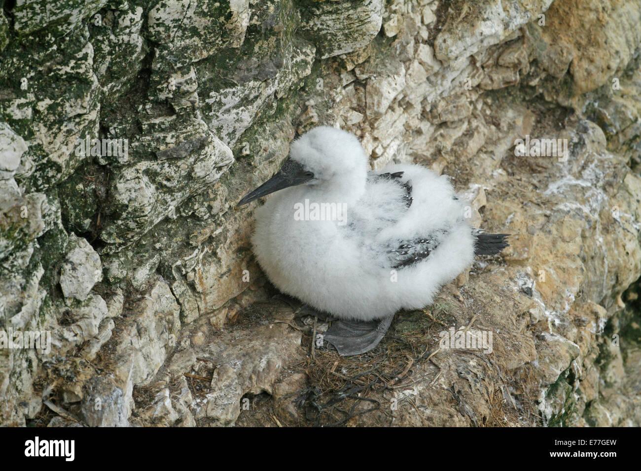 Gannet chick Morus bassanus sitting on ledge - Stock Image
