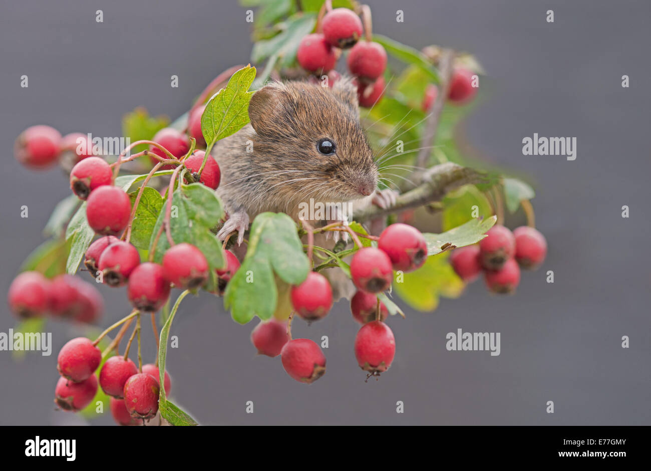 Common Redbacked or Bank Vole-Clethrionomys glareolus, on Hawthorn-Cratagus. - Stock Image