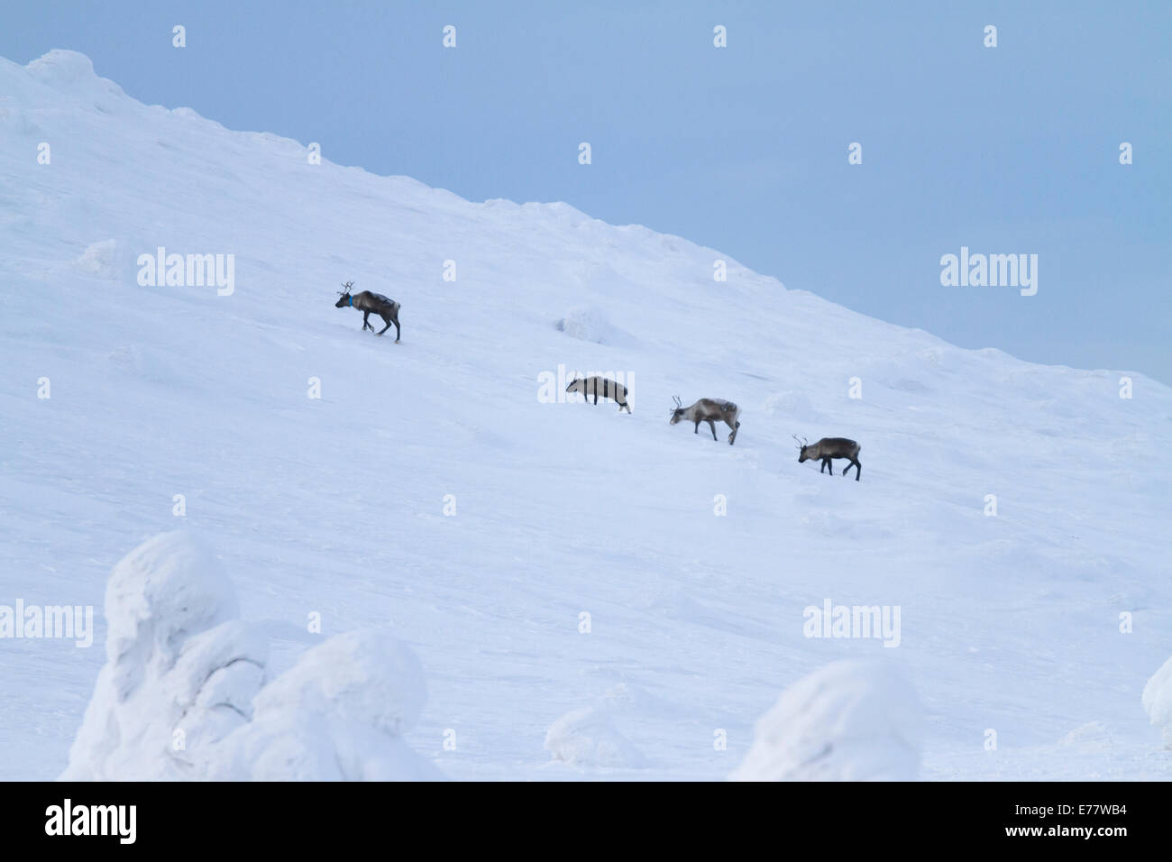 Four reindeers walking on a mountain in winter time - Stock Image