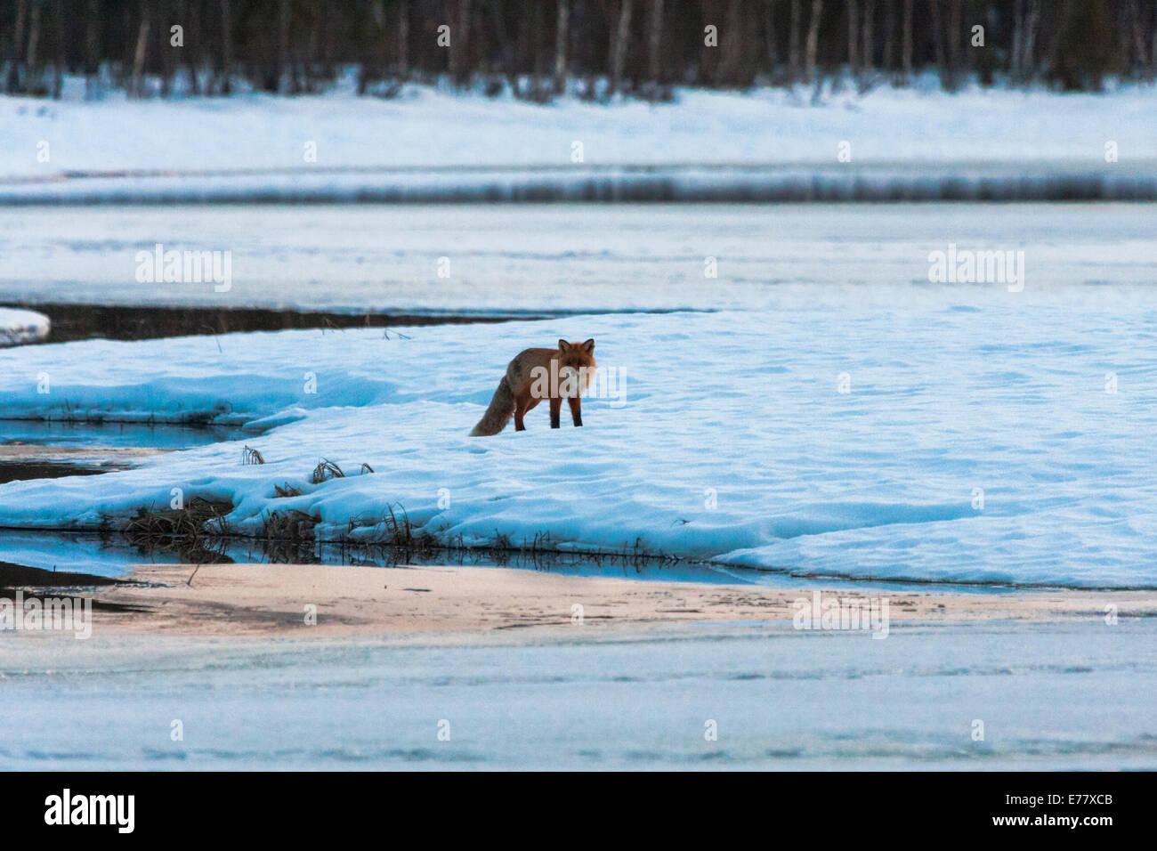 Redfox in winter landscape - Stock Image