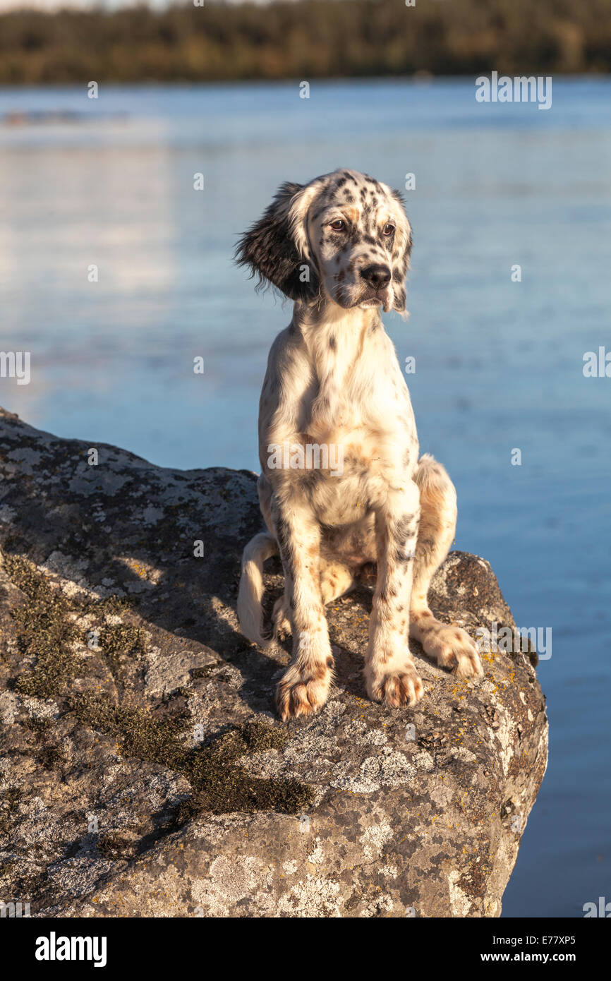 Dog, english setter, sitting on a rock in evening light Stock Photo