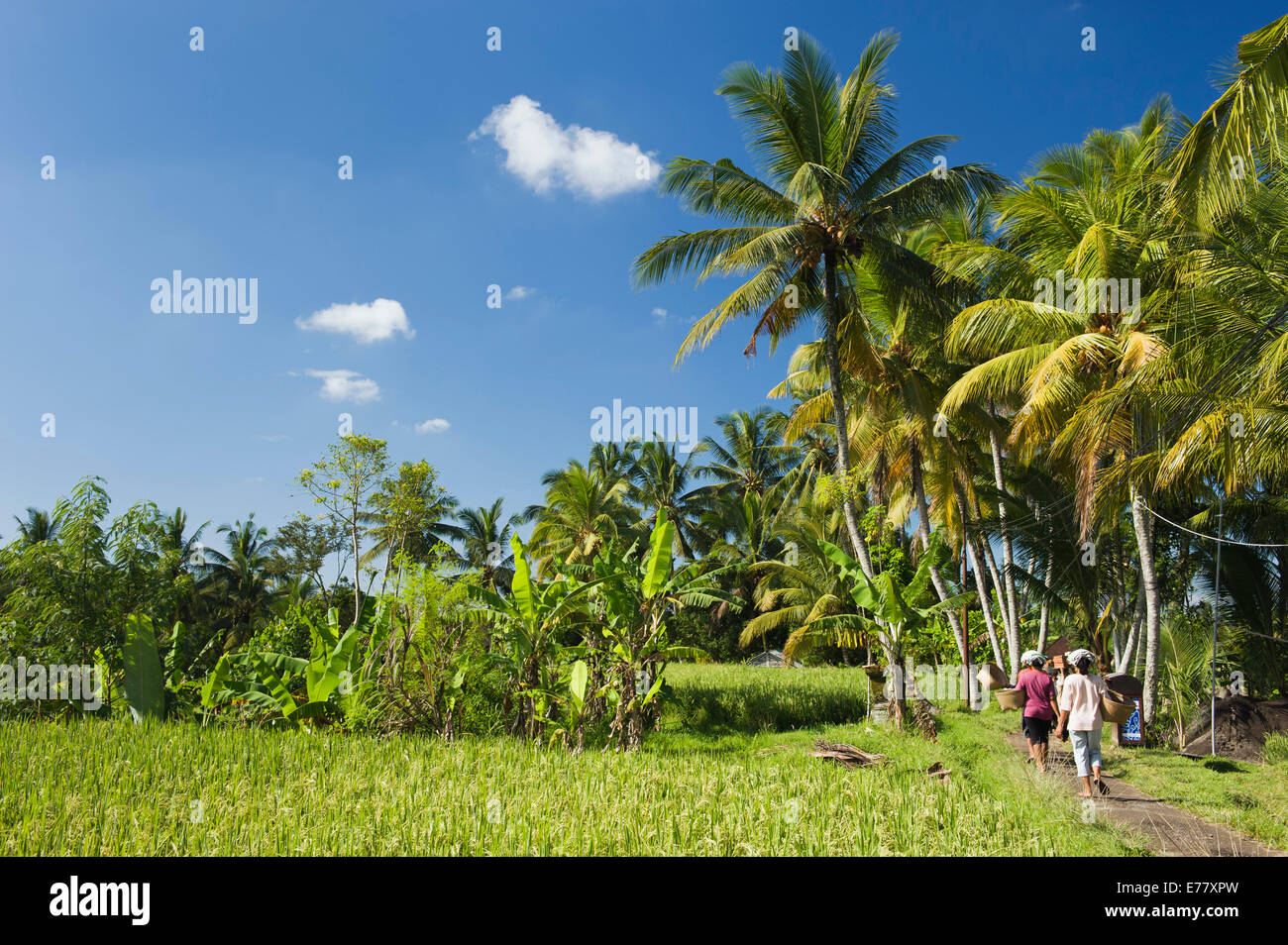 Paddy field and coconut palms, Ubud, Bali, Indonesia - Stock Image