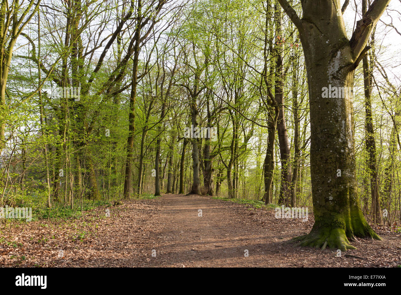 Old giant trees Tilia Linden alte Baeume spring - Stock Image