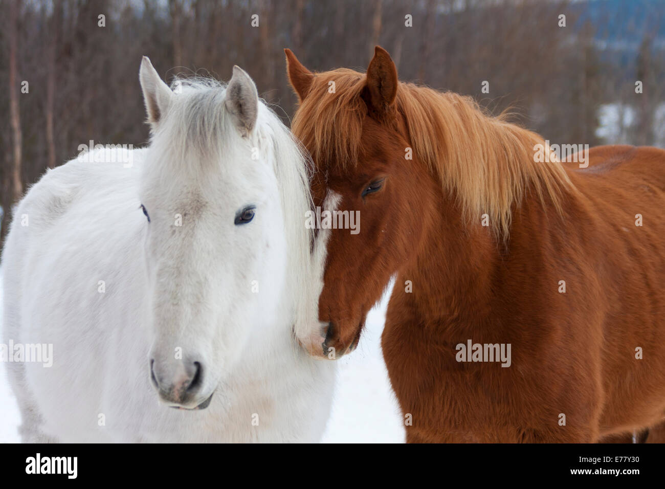 Two icelandic horses standing close together in Skaulo in Swedish lapland - Stock Image