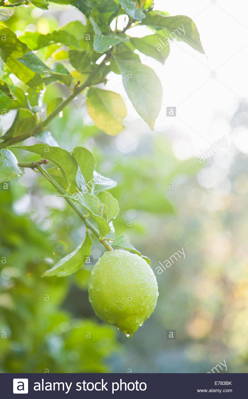 Close up of wet lime on branch - Stock Image