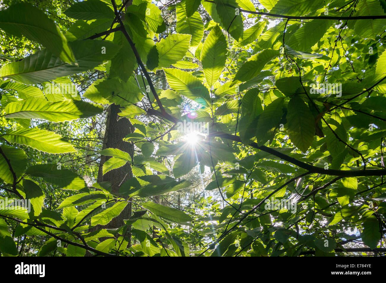 Summer sun shines through leaves in woodland in the Surrey Hills - Stock Image