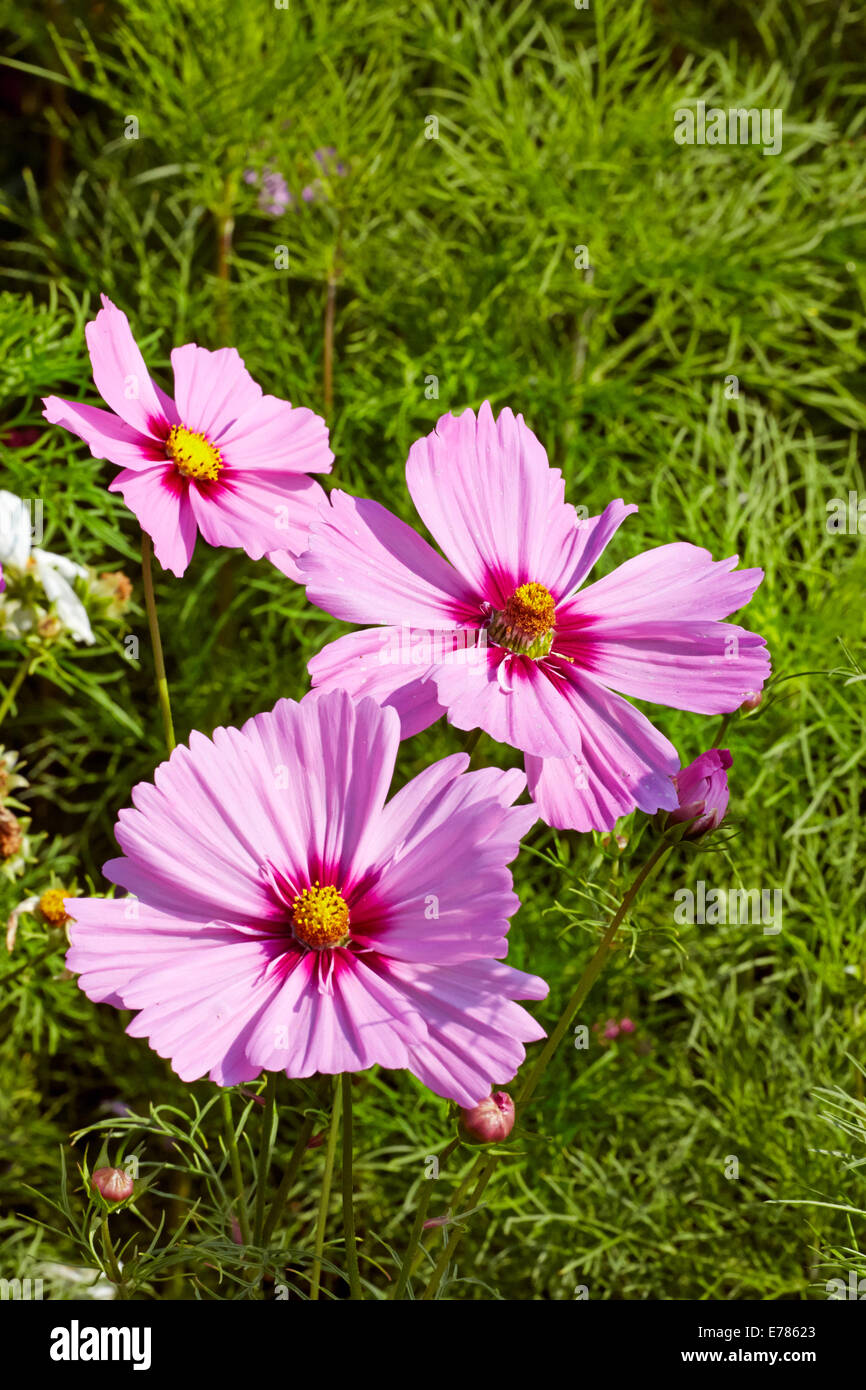 Cosmos flowers on a traffic island. East Molesey, Surrey, England. - Stock Image