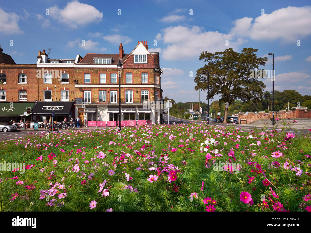 Cosmos flowers on a traffic island by the River Thames at Hampton Court Bridge. East Molesey, Surrey, England. - Stock Image