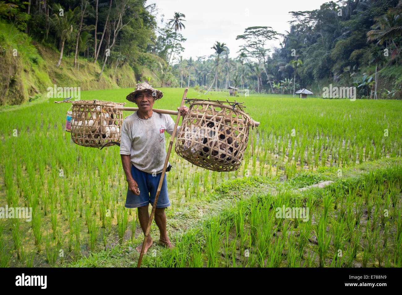A local farmer carries his animals across rice fields on a hot sunny afternoon near Ubud, Bali, Indonesia - Stock Image