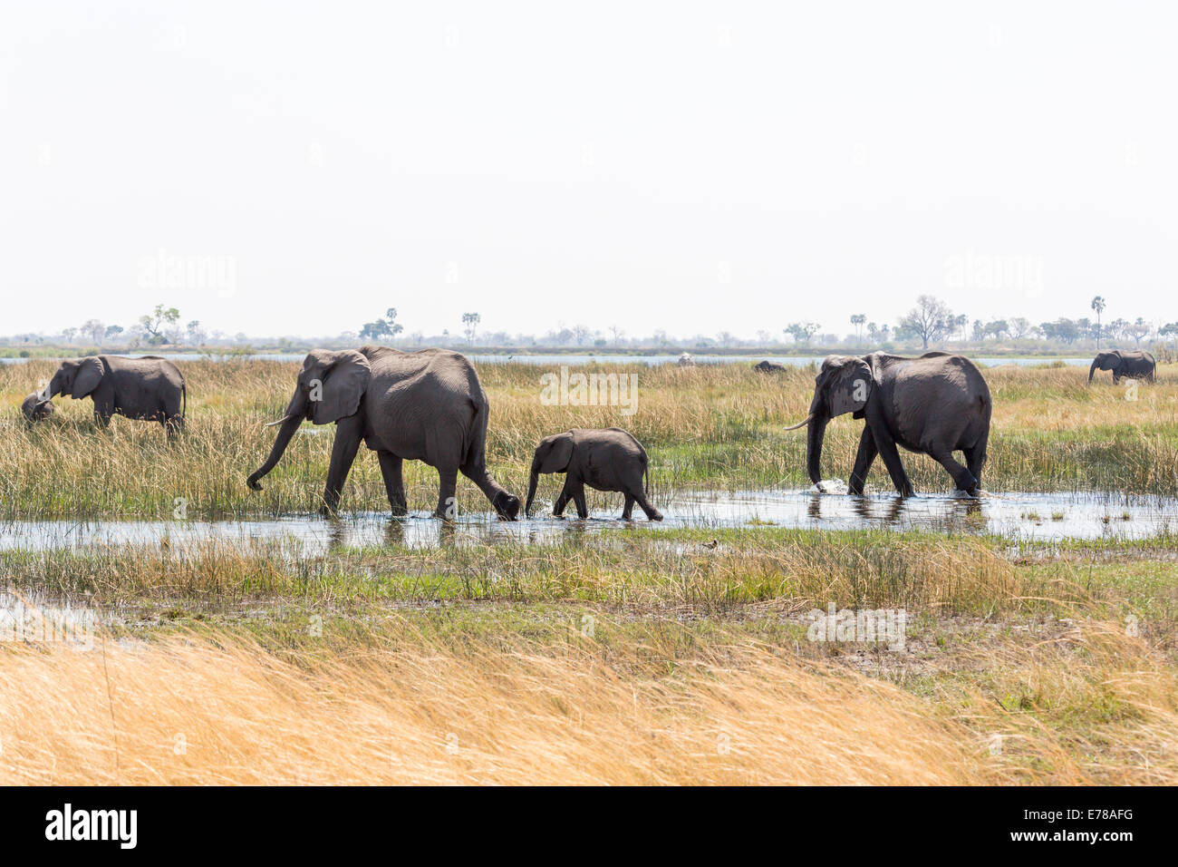 A family of African elephants with a baby walk through a water hole in a swamp in the Okavango Delta, Botswana, Stock Photo